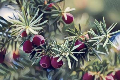 Znaczenie snu Drzewo Cis